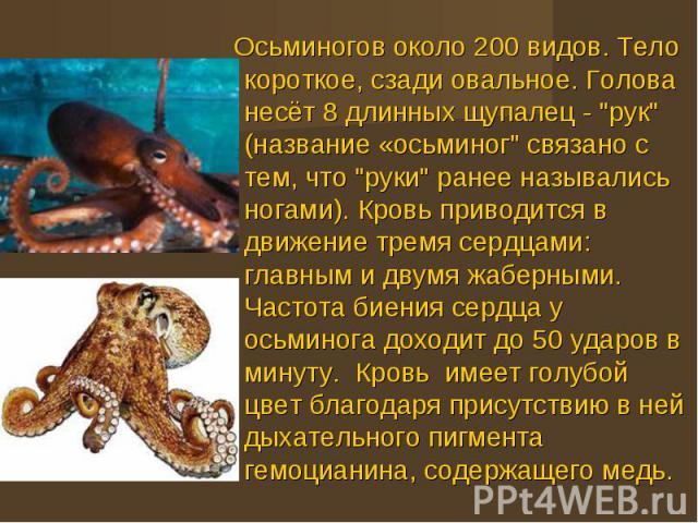 Осьминогов около 200 видов. Тело короткое, сзади овальное. Голова несёт 8 длинных щупалец -