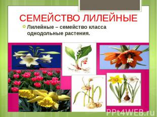 СЕМЕЙСТВО ЛИЛЕЙНЫЕ Лилейные – семейство класса однодольные растения.
