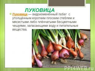 ЛУКОВИЦА Луковица— видоизменённый побег с утолщённым коротким плоским стеб