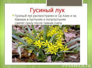 Гусиный лук Гусиный лук распространен в Ср.Азии и на Кавказе,в пустынях и полупу