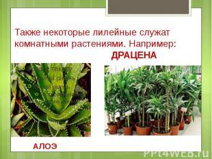 Также некоторые лилейные служат комнатными растениями. Например: ДРАЦЕНА АЛОЭ