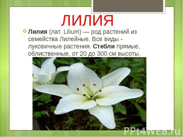 ЛИЛИЯ Лилия(лат. Lilium) — род растений из семейства Лилейные. Все виды - луковичные растения.Стеблипрямые, облиственные, от 20 до 300 см высоты.