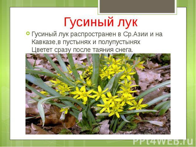 Гусиный лук Гусиный лук распространен в Ср.Азии и на Кавказе,в пустынях и полупустынях Цветет сразу после таяния снега.