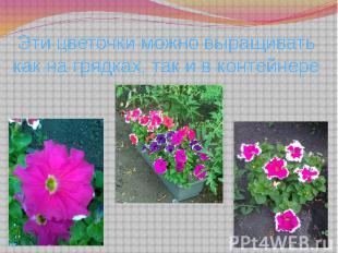 Эти цветочки можно выращивать как на грядках, так и в контейнере