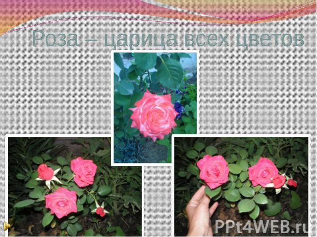 Роза – царица всех цветов
