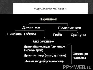 Парапитеки ПаРОДОСЛОВНАЯ ЧЕЛОВЕКА. Парапитеки Австралопитек Древнейшие люди (син