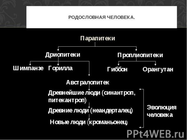 Парапитеки ПаРОДОСЛОВНАЯ ЧЕЛОВЕКА. Парапитеки Австралопитек Древнейшие люди (синантроп, питекантроп) рапитеки