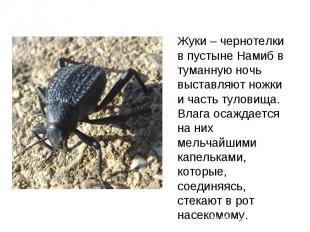 Жуки – чернотелки в пустыне Намиб в туманную ночь выставляют ножки и часть тулов