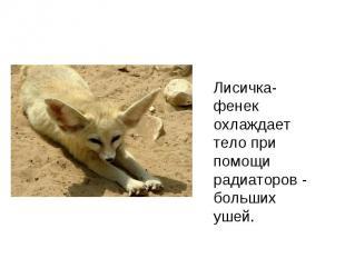 Лисичка- фенек охлаждает тело при помощи радиаторов - больших ушей.