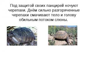 Под защитой своих панцирей ночуют черепахи. Днём сильно разгоряченные черепахи с