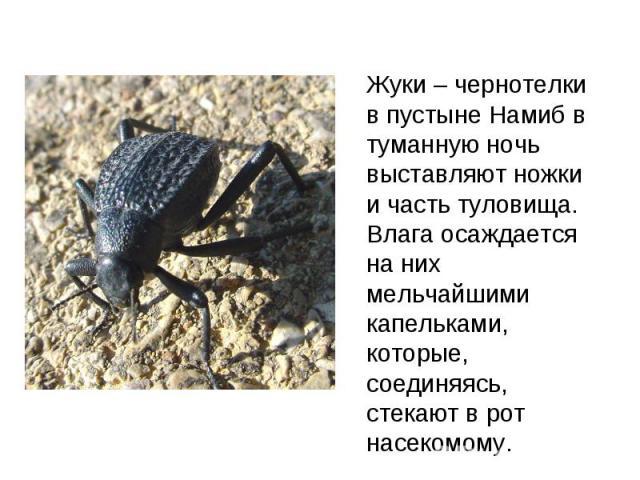 Жуки – чернотелки в пустыне Намиб в туманную ночь выставляют ножки и часть туловища. Влага осаждается на них мельчайшими капельками, которые, соединяясь, стекают в рот насекомому.
