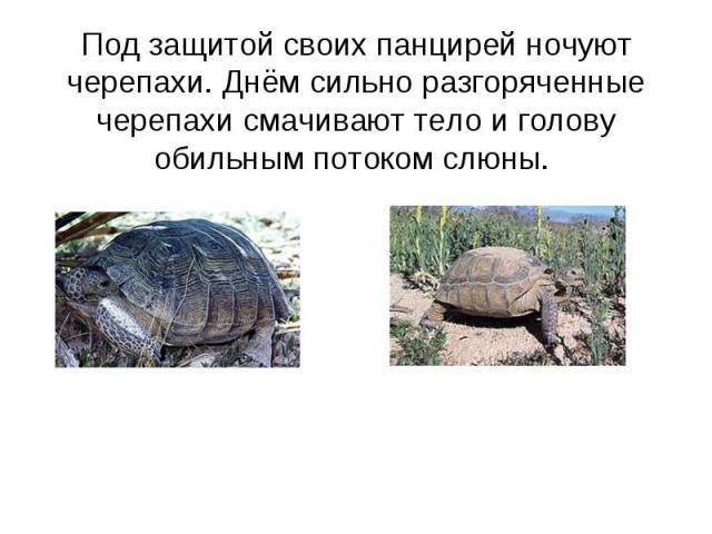 Под защитой своих панцирей ночуют черепахи. Днём сильно разгоряченные черепахи смачивают тело и голову обильным потоком слюны.