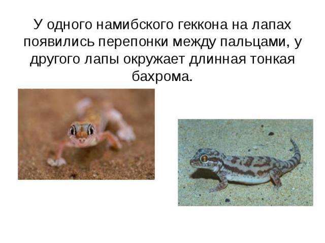 У одного намибского геккона на лапах появились перепонки между пальцами, у другого лапы окружает длинная тонкая бахрома.