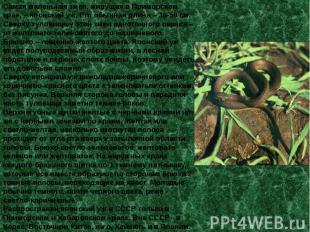 Самая маленькая змея, живущая в Приморском крае, – японский уж. Его обычная длин