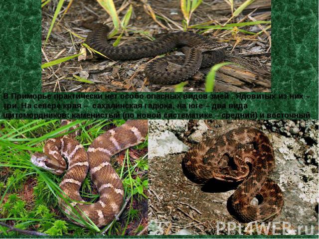 В Приморье практически нет особо опасных видов змей . Ядовитых из них – три. На севере края – сахалинская гадюка, на юге – два вида щитомордников: каменистый (по новой систематике – средний) и восточный (ныне – уссурийский).