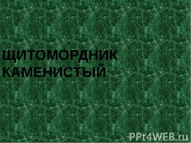 ЩИТОМОРДНИК КАМЕНИСТЫЙ