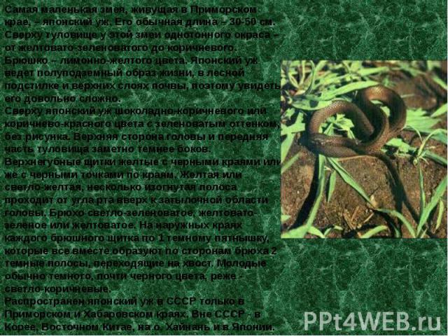 Самая маленькая змея, живущая в Приморском крае, – японский уж. Его обычная длина – 30-50 см. Сверху туловище у этой змеи однотонного окраса – от желтовато-зеленоватого до коричневого. Брюшко – лимонно-желтого цвета. Японский уж ведет полуподземный …