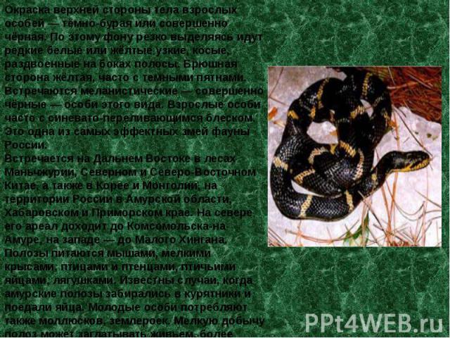 Окраска верхней стороны тела взрослых особей — тёмно-бурая или совершенно чёрная. По этому фону резко выделяясь идут редкие белые или жёлтые узкие, косые, раздвоенные на боках полосы. Брюшная сторона жёлтая, часто с темными пятнами. Встречаются мела…