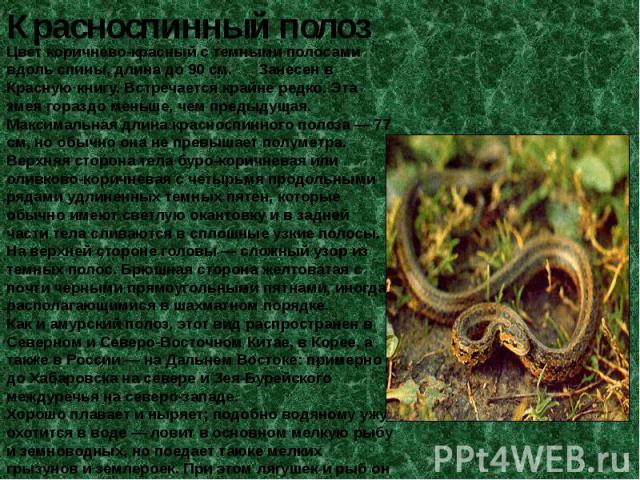Цвет коричнево-красный с темными полосами вдоль спины, длина до 90 см. Занесен в Красную книгу. Встречается крайне редко. Эта змея гораздо меньше, чем предыдущая. Максимальная длина красноспинного полоза — 77 см, но обычно она не превышает полуметра…