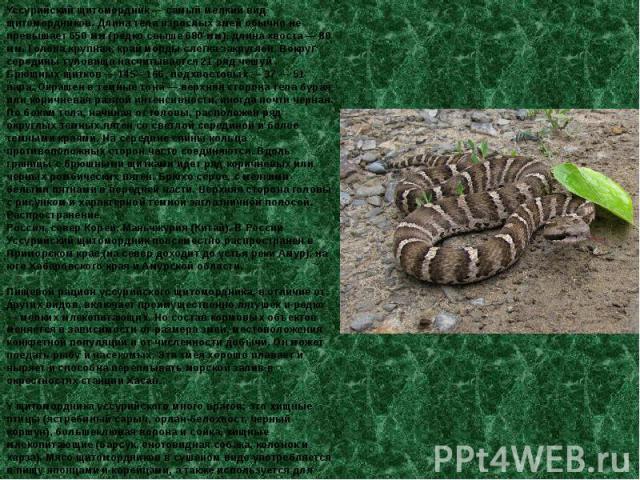 Уссурийский щитомордник — самый мелкий вид щитомордников. Длина тела взрослых змей обычно не превышает 650 мм (редко свыше 680 мм), длина хвоста — 80 мм. Голова крупная, край морды слегка закруглен. Вокруг середины туловища насчитывается 21 ряд чешу…