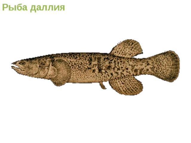 Рыба даллия