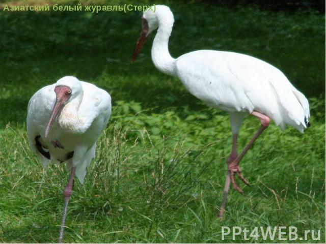 Азиатский белый журавль(Стерх)