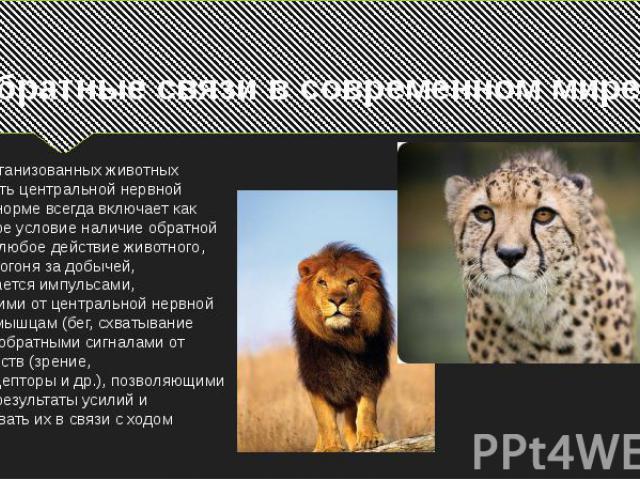 У высокоорганизованных животных деятельность центральной нервной системы в норме всегда включает как необходимое условие наличие обратной связи. Так, любое действие животного, например погоня за добычей, сопровождается импульсами, поступающими от це…
