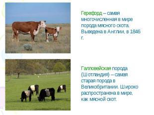 Герефорд – самая многочисленная в мире порода мясного скота. Выведена в Англии,