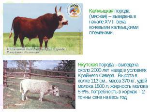 Калмыцкая порода (мясная) – выведена в начале XVII века кочевыми калмыцкими плем