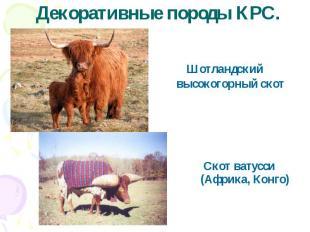 Декоративные породы КРС.