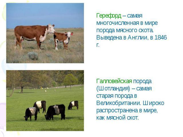Герефорд – самая многочисленная в мире порода мясного скота. Выведена в Англии, в 1846 г.