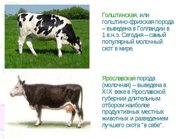 Голштинская, или голштино-фризская порода – выведена в Голландии в 1 в.н.э. Сегодня – самый популярный молочный скот в мире.