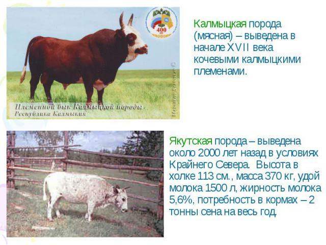 Калмыцкая порода (мясная) – выведена в начале XVII века кочевыми калмыцкими племенами.