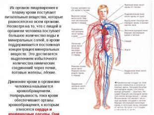 Из органов пищеварения в плазму крови поступают питательные вещества, которые ра