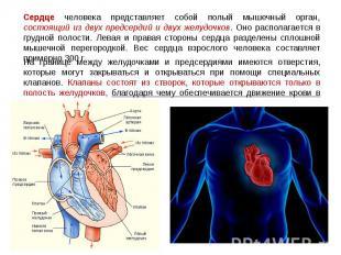 Сердце человека представляет собой полый мышечный орган, состоящий из двух предс