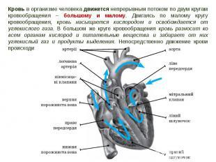 Кровь в организме человека движется непрерывным потоком по двум кругам кровообра