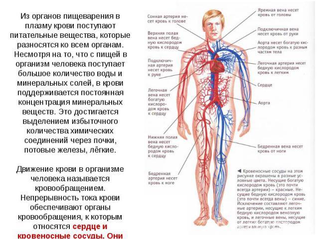 Из органов пищеварения в плазму крови поступают питательные вещества, которые разносятся ко всем органам. Несмотря на то, что с пищей в организм человека поступает большое количество воды и минеральных солей, в крови поддерживается постоянная концен…