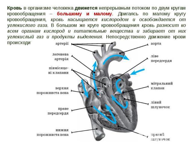 Кровь в организме человека движется непрерывным потоком по двум кругам кровообращения – большому и малому. Двигаясь по малому кругу кровообращения, кровь насыщается кислородом и освобождается от углекислого газа. В большом же круге кровообращения кр…