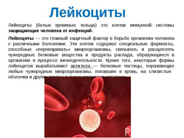 Лейкоциты (белые кровяные тельца) это клетки иммунной системы защищающие человека от инфекций. Лейкоциты — это главный защитный фактор в борьбе организма человека с различными болезнями. Эти клетки содержат специальные ферменты, способные «переварив…