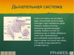 Дыхательная система Рыбы постоянно заглатывают воду. Из ротовой полости вода про