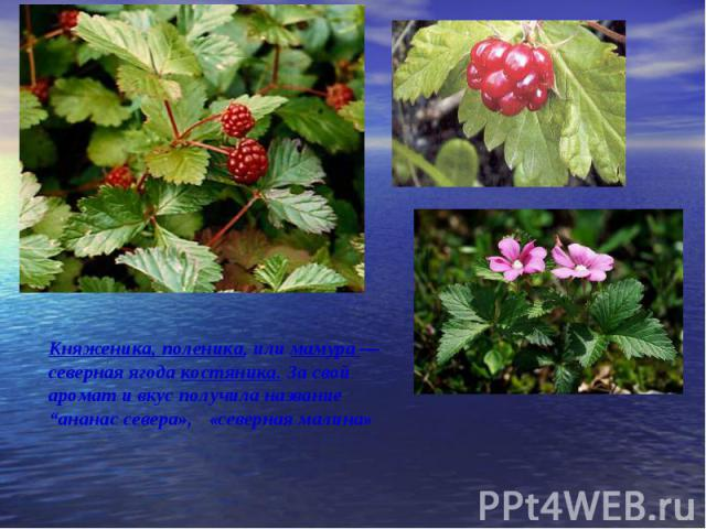 """Княженика, поленика, или мамура — северная ягода костяника. За свой аромат и вкус получила название """"ананас севера», «северная малина»"""