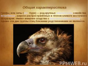 Грифы, или сипы (лат. Gyps) — род крупных хищных птиц семейства ястребиных, широ