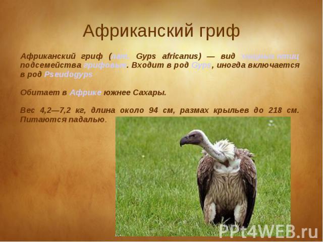 Африканский гриф