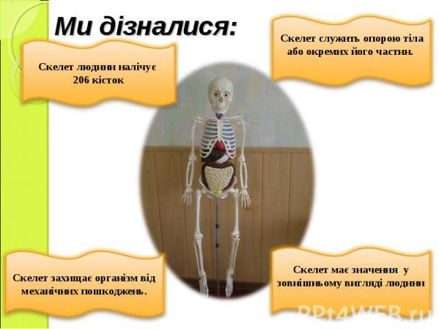 Ми дізналися: Скелет людини налічує 206 кісток Скелет служить опорою тіла або окремих його частин.