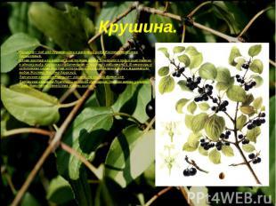 Крушина— под род деревянистых растений рода Жостер семейства Крушиновые. Слово ж
