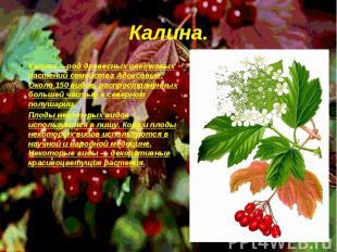 Калина—род древесных цветковых растений семейства Адоксовые. Около 150 видов, р
