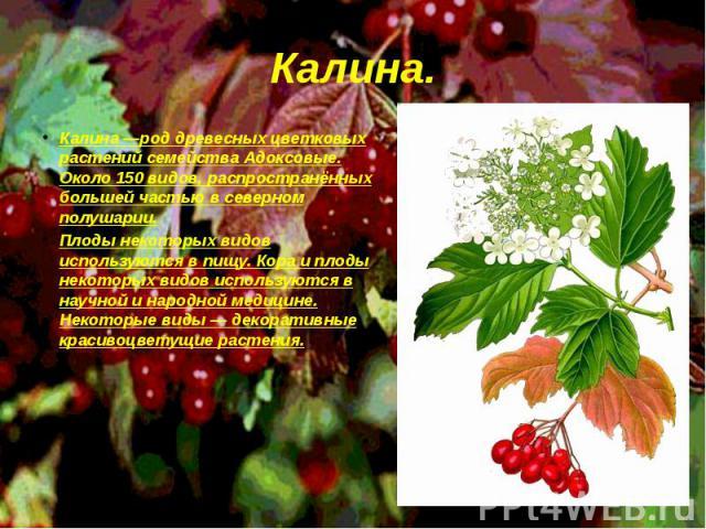 Калина—род древесных цветковых растений семейства Адоксовые. Около 150 видов, распространённых большей частью в северном полушарии. Плоды некоторых видов используются в пищу. Кора и плоды некоторых видов используются в научной и народной медицине. …