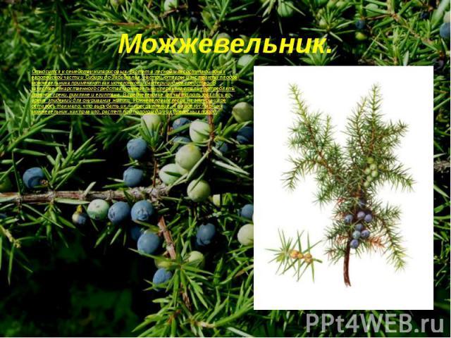 Относится к семейству кипарисовых. Растет в лесной и лесостепной зонах европейской части и Сибири до Забайкалья. Настои, отвары и экстракты плодов можжевельника применяют как мочегонное и бактерицидное средство. В качестве лекарственного средства мо…