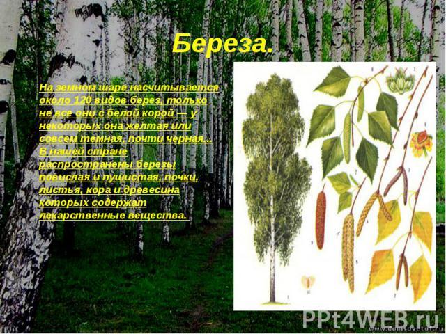 На земном шаре насчитывается около 120 видов берез, только не все они с белой корой — у некоторых она желтая или совсем темная, почти черная... В нашей стране распространены березы повислая и пушистая, почки, листья, кора и древесина которых содержа…