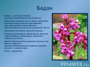 Бадан Бадан—родмноголетних растенийсемействаКамнеломковые. Латинское назв